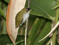 Cream-throated White-eye - Zosterops atriceps