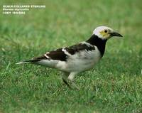 Black-collared Starling - Sturnus nigricollis