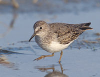 Temminck's Stint (Calidris temminckii) photo