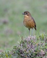 Tawny Antpitta (Grallaria quitensis) photo