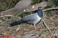 Coral-billed Ground-Cuckoo - Carpococcyx renauldi