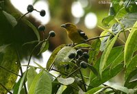 White-winged Tanager - Piranga leucoptera