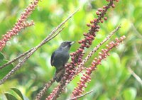 Greater Flowerpiercer - Diglossa major
