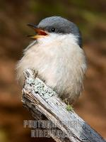 ...Pygmy Nuthatch in Ponderosa pine forest at 7 , 000 feet elevation near Flagstaff Arizona Coconin