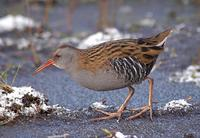 Water Rail at Worfield Bog - December 2005 (photo John Robinson)