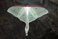 : Actias selene; Indian Luna Moth/indian Moon Moth