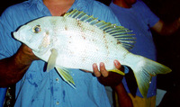 Gymnocranius audleyi, Collared large-eye bream: fisheries