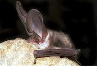 Plecotus auritus - Brown Big-eared Bat