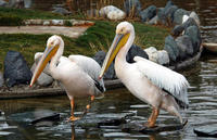 Image of: Pelecanus onocrotalus (great white pelican)