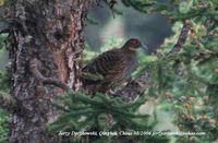 Buff-throated Partridge - Tetraophasis szechenyii