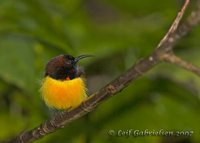 Flaming Sunbird - Aethopyga flagrans