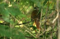 White-browed  foliage-gleaner   -   Philydor  amaurotis   -