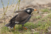 White-cheeked Starling » Sturnus cineraceus