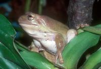 Litoria caerulea - White's Tree Frog