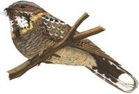 Image of: Caprimulgus pectoralis (fiery-necked nightjar)