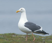 Western Gull (Larus occidentalis) photo
