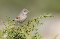 Spectacled Warbler (Sylvia conspicillata) photo