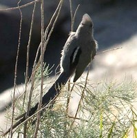 White-backed Mousebird - Colius colius