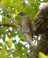Lesser Honeyguide - Indicator minor