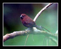 Streak-headed Munia - Lonchura tristissima