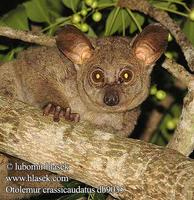 Otolemur crassicaudatus UK: Greater Galago thick-tailed bushbaby