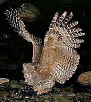 ... planet, such as this Blakiston's Fish Owl, the largest owl in the world! (Pete Morris)