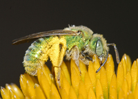: Agapostemon sp.; Metallic Green Sweat Bee