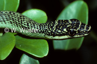 : Chrysopelea ornata; Golden Flying Snake
