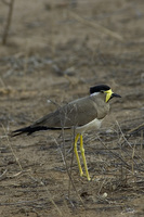 Vanellus malabaricus   Yellow-wattled Lapwing photo