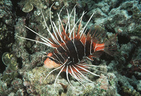 Pterois radiata, Radial firefish: fisheries, aquarium