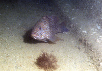 Epinephelus bleekeri, Duskytail grouper: fisheries, aquaculture