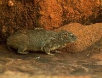 Image of: Heterohyrax brucei (yellow-spotted hyrax)