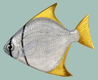 Image of: Monodactylus argenteus (diamond moonfish)