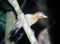 Laced Woodpecker - Picus vittatus