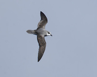 Soft-plumaged Petrel (Pterodroma mollis) photo