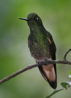 Buff-tailed Coronet - Boissonneaua flavescens