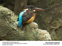 Blue-banded Kingfisher - Alcedo euryzona
