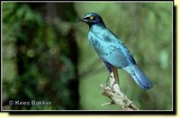 Greater Blue-eared Glossy-Starling - Lamprotornis chalybaeus