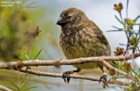 Medium Tree-Finch - Camarhynchus pauper