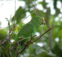 Orange-winged Parrot (Amazona amazonica)