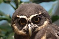 Spectacled Owl (male)