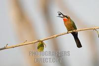 White fronted Bee eater eating a bug stock photo