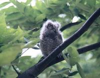Scops owl Otus scops 소쩍새