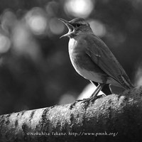 [鳥の写真/Bird Photo] マミチャジナイ - Eye-browed Thrush - Turdus obscurus