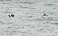 Thick-billed (lt) and Common Murre (rt)