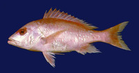 Lutjanus vivanus, Silk snapper: fisheries, gamefish