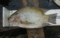 ... galilaeus galilaeus, Mango tilapia : fisheries, aquaculture, aquarium