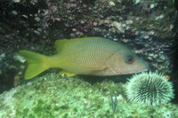 Lutjanus argentiventris, Yellow snapper: fisheries, aquaculture