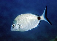 Diplodus sargus sargus, White seabream: fisheries, aquaculture, gamefish
