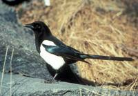 Pica hudsonia - Black-billed Magpie